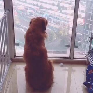 27楼的视觉感不错。(配音哦)#金毛waiter##宠物#