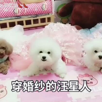 #宠物##汪星人##我的宠物萌萌哒#@⚡翼⚡ 感谢文艺欧巴给我们家三小只买的美美哒的婚纱😍😍第一次穿婚纱的汪星人大家觉得谁最美??😌😌😌