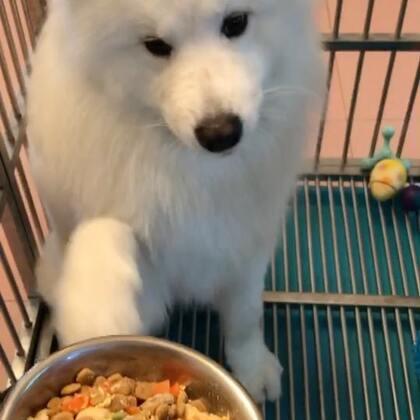 #宠物##萨摩耶#🔅summer🔅说没做他的饭,直接气的直嗷嗷……