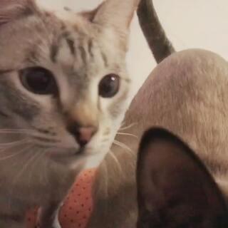 #宠物#召唤馋猫的必杀技