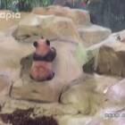 熊猫宝宝首次出活动场遭遇不明力量——都是假山先动手哒!😡