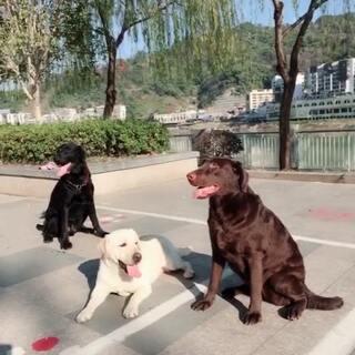 #宠物##我家的三色拉布拉多#今天天气好晴朗,带狗游泳晒太阳的小日常😘