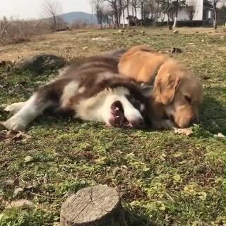 感觉coco很娇羞的最后想躺在贝勒狗怀里 可是贝勒狗傻乎乎的。#宠物##金毛##小贝勒的日常#