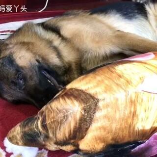 #汪星人##我要上热门@美拍小助手##宠物#老乡们闭眼了🙈辛巴在和他犬孙练瑜伽呢💃😄虽然是业余的但动作还算标准👍👍👍