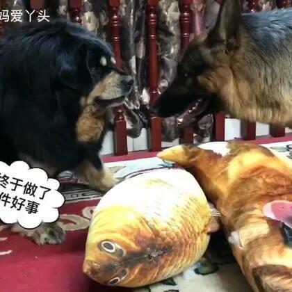 #汪星人##我要上热门@美拍小助手##宠物#辛巴真是狗拿耗子多管闲事!非要做月老来个拉郎配!也不看看这两个东西合适吗😢但是我相信他的眼光是不错的👍组合搭配的也刚好😏