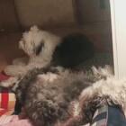 #宠物#四喜昨晚上睡姿 他特别喜欢翘着腿 一边身子在外面 一边在里面睡😂