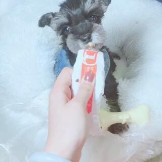 #雪纳瑞##宠物##蚌埠#雪纳瑞宝宝