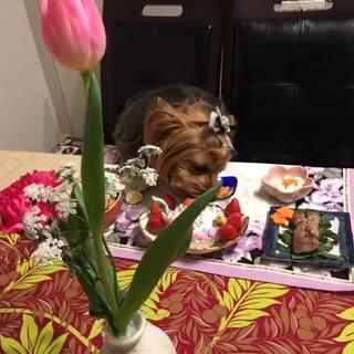 瑪莉亚天使👼8岁生日🎉妈咪祝你健康快乐幸福平安每一天哦!爱不够的宝贝#宠物##约克夏#