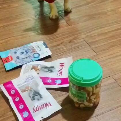 #宠物界吃货#吃啊吃啊。打不开😤。#宠物##唐门法斗先生##极品法斗#