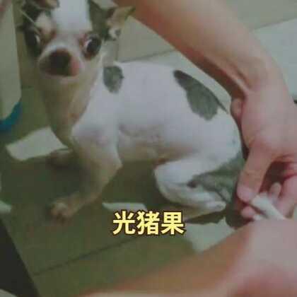 #宠物##吉娃娃##汪星人# 果果最近掉毛太厉害了,果爸实在受不了就给剃成了光猪😂粉嘟嘟的,超级可爱
