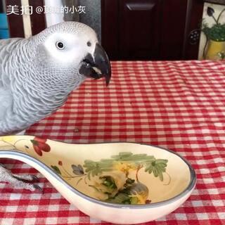 #宠物#顶嘴的小灰!日常!吃饺子!