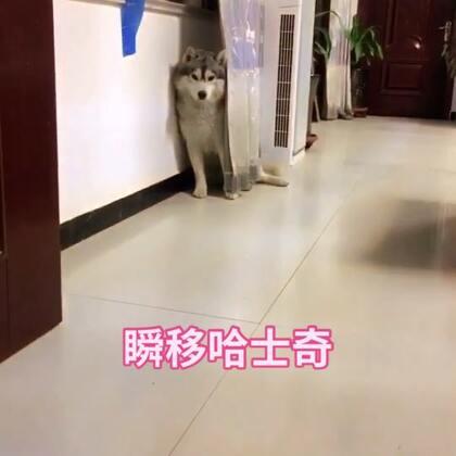 会瞬移的哈士奇,这是快放!#精选##音乐##宠物#