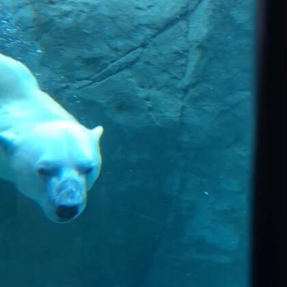 零下30度 泡温泉 ,感觉也还好吧[doge] 你看看人家北极熊多享受🐻 #动物##北极熊##精选#