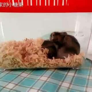 #仓鼠##宠物#阿胖,你起来了吗?小小胖,你起床了没有?