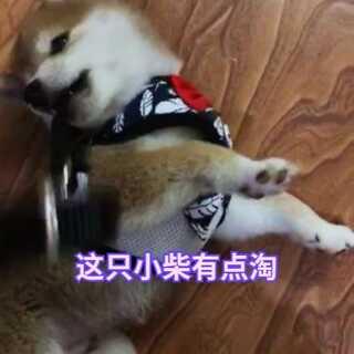 #最真祝福跳出来##宠物##日本柴犬#