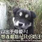 狗妈妈Zac生产以后,主人把小奶狗都陆续送人了,还剩一只小黑狗。有天主人发现,狗妈妈最后的孩子也不见了,喂Zac什么,它都不吃,会悄悄带走。原来Zac怕最后这只小奶狗也被带走,悄悄把它藏到了山上:宝宝你乖乖的哈,妈妈会每天来看你给你送吃的,你是妈妈最后的秘密……😭