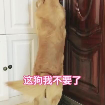 #宠物##搞笑#主人出门忘记带钥匙,金毛在屋尽然...