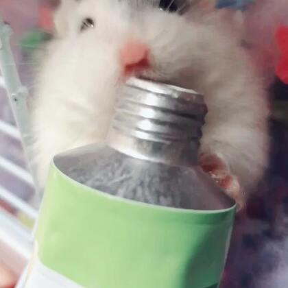 哈哈哈 化毛膏是真爱😂#仓鼠##萌宠小仓鼠##仓鼠的日常#