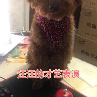 汪汪的才艺表演 消毒液活动还在继续中 🔗 https://item.taobao.com/item.htm?id=41611520276 #宠物##宠物界吃货##宠物才艺秀#