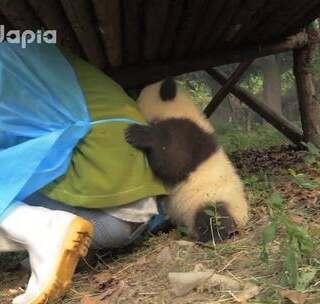 #萌团子日常#lai爸,熊家的秘密基地!