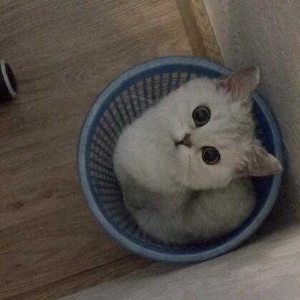 無意間拍到哈哈,竟然在垃圾桶玩出一片天~ 😂#宠物##miumiu的日常#
