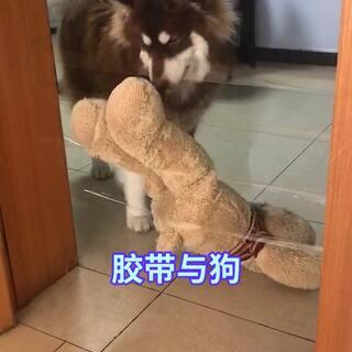 #阿拉斯加##阿拉斯加雪橇犬#