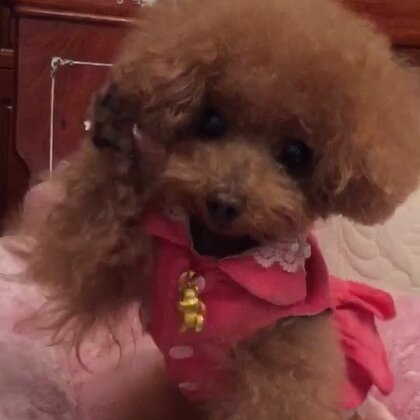 #宠物#-💖公主-甜心💖-公主:嘻嘻,看伦家捏招财🙋🏻♀️小手手可爱不😝(哈哈,小丫头👸🏼,看把你馋哒😅)#宠物手势舞##萌宝小吃货#