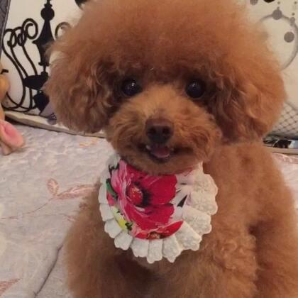 #宠物#-💖公主-甜心💖-哈哈,小丫头👸,学捏还有模有样哒😅(公主:嘻嘻,还是当单身🐶开森耶😝)#家有小萌娃##快乐单身狗#