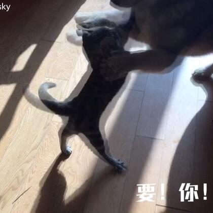 作为一只猫,你居然打不过一只狗#宠物#