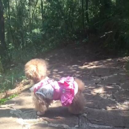 #宠物#-💖公主-甜心💖-公主:哎玛,爬个⛰️粑比🤵🏻麻咪👩🏻💼都不让伦家省心🤨(哈哈,爬⛰️可是小丫头👸🏼的強项👍🏻,在前边等那是常事😅)#冬日暖阳##宝贝爬山好开心#
