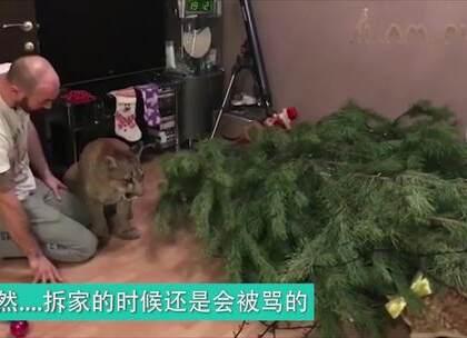 #宠物#因为患先天疾病被收养的美洲狮,看这日常生活,完全是当猫养了!❤