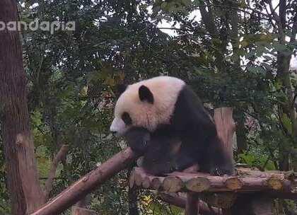 #萌团子陪你过周末# 雪花飘飘,北风潇潇,秋叶飞舞,一只熊在风中沉思,他究竟在思考什么呢?