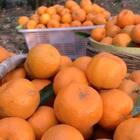 """#吐司的n种吃法##美食#在我的家乡 柑橘类属于产量最高的水果 我们叫它""""碰柑""""每到橘子季节,因为人力物力的原因 都会烂在树上,因此掉了一地,在我老家存在着一种""""果梯""""专为摘橘子定制的梯子!这就是收获。#我要上热门@美拍小助手#"""