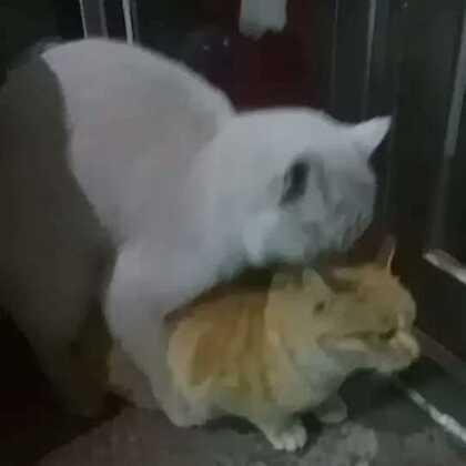 见证猫妹妹做爸爸的时刻,哈哈哈