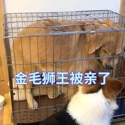 #宠物##精选##萌宠金毛狗狗#