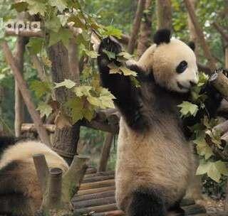 #萌团子日常#吃了半天才发现这不是竹子啊!