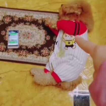 😂😂这次是我冤枉涂涂了,裤子忘记开裆http://h5.m.taobao.com/awp/core/detail.htm?id=556919487880 #宠物##精选##汪星人#