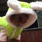 #宠物#-💖公主-甜心💖—哈哈,小丫头👸🏼从来没遇上这么冷的降温🌨,包的像粽子一样😅(公主:伦家好想知看看❄️长什么样哈🤔)#家有萌宠##穿秀#