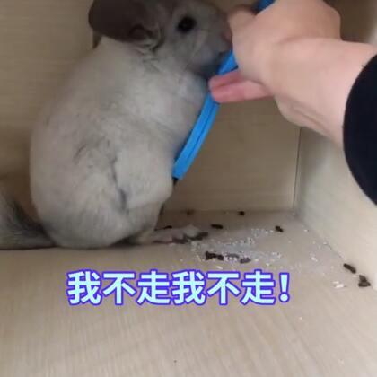 小淘气:我就赖着不走咋滴?!#宠物#