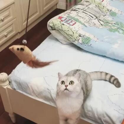 #宠物#小短腿哈哈哈哈哈哈 钓到一只Miumiu🤪