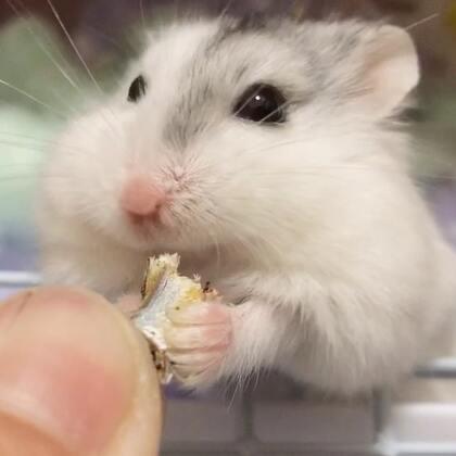 来更日常 芝麻的日常卖萌#仓鼠##萌宠小仓鼠##仓鼠的日常#