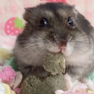 #宠物##独特萌宠##仓鼠#我们鼠麻麻2018年3月18日就两岁啰,我们现在除了眼睛有些问题外都一切安好呢!谢谢大家的关心!