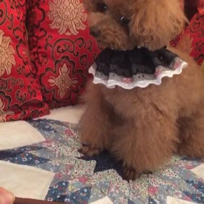 #宠物#-💖公主-甜心💖-公主:伦家虽说是吃货🙈,可也是有原则滴汪😈(小丫头👸🏼,这轮表现你赢啦😜👍🏻)#我超有规矩##家有萌娃#