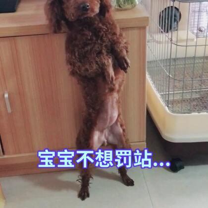 家里新来一只贵宾,叫丢丢,给大家表演一个技能,罚站😂😂😂#宠物#