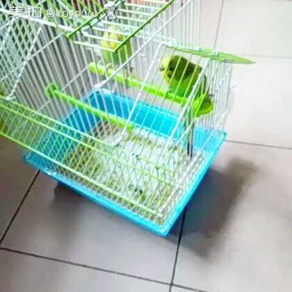 堂妹家的鹦鹉,可爱。准备回粘土坑了。