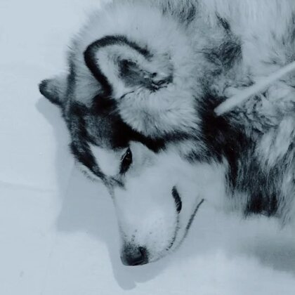 给我家灰灰画个自画像#宠物#