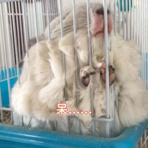 【羊咩咩的龙猫猫们美拍】奶油宝宝真是太萌惹,喜欢蹲在这...