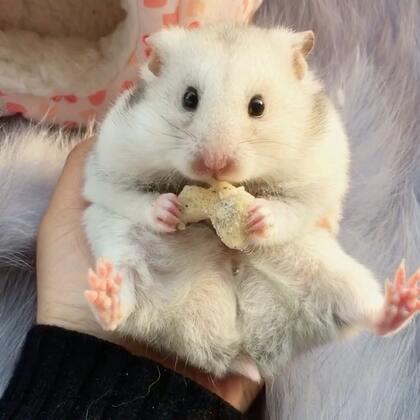 #宠物##独特萌宠##仓鼠#俺们胖纸躺着吃!