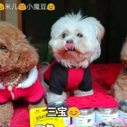 三宝祝美拍的朋友们狗🐶年吉祥🙏🙏🙏新年快乐🎊🎊🎊🎈🎈🎈#宠物##新年快乐##小魔豆一家#(三宝在睡梦中给拉起来拍视频📽都好不开心的😞😞😞姨姨姐姐们凑合着看吧😄😄😄)