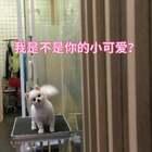 祝宝贝们新年快乐,狗年大吉🎉🎊🎈SURPRISE有木有哈哈哈哈哈哈,咩咩收获了一只全新的牛奶哈哈哈哈哈😄#宠物#